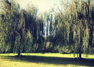 willowtrees
